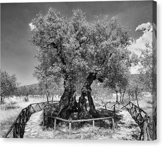 Patriarch Olive Tree Canvas Print