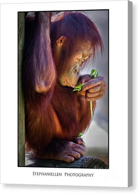 Peaceful Orangutan Canvas Print