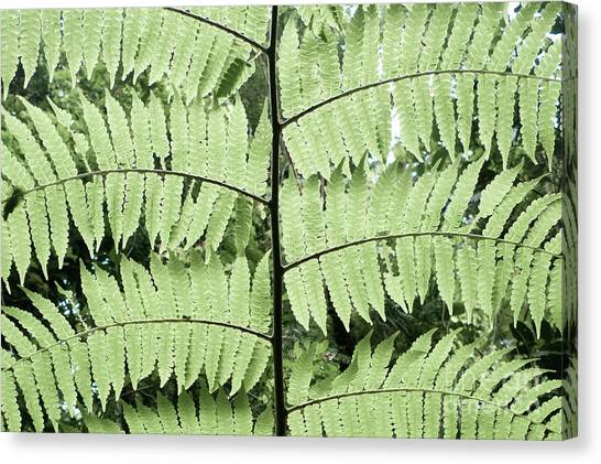 Canopy Canvas Print - Peaceful Rainforest Fern, Monteverde, Costa Rica by Erin Morris