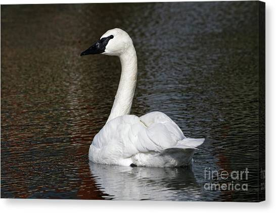 Peaceful Swan Canvas Print