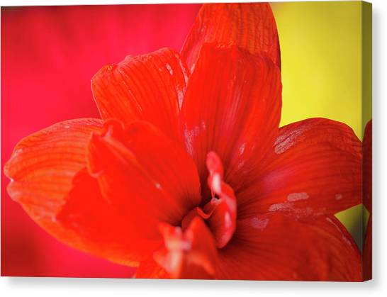 Peach Melba Red Amaryllis Flower On Raspberry Ripple Pink And Yellow Background Canvas Print by Andy Smy