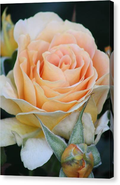 Peach Rose 2 Canvas Print