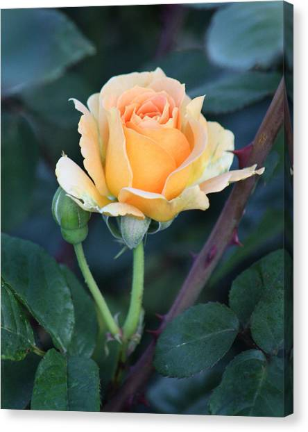 Peach Rose 3 Canvas Print
