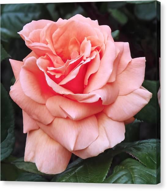 Canvas Print - Peach Rose by Rona Black
