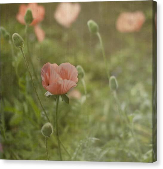 Peachy Poppies Canvas Print by Rebecca Cozart