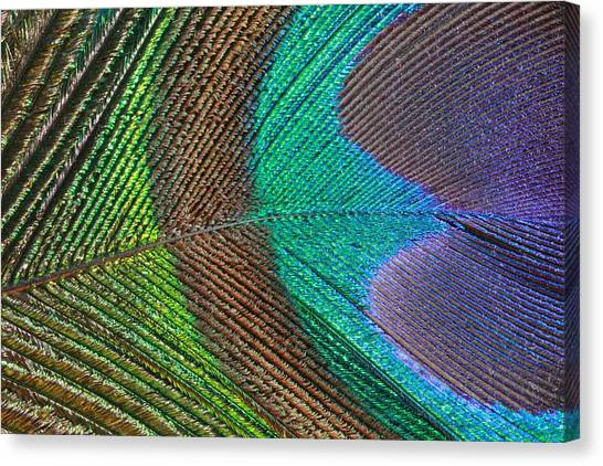 Peacock Feather Close Up Canvas Print
