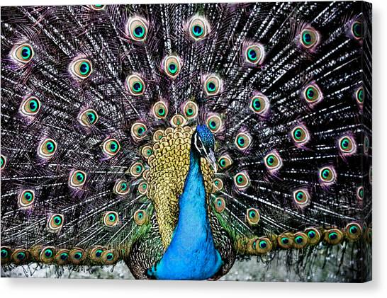 Peacock Canvas Print