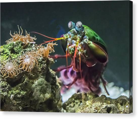 Peacock Mantis Shrimp Profile Canvas Print
