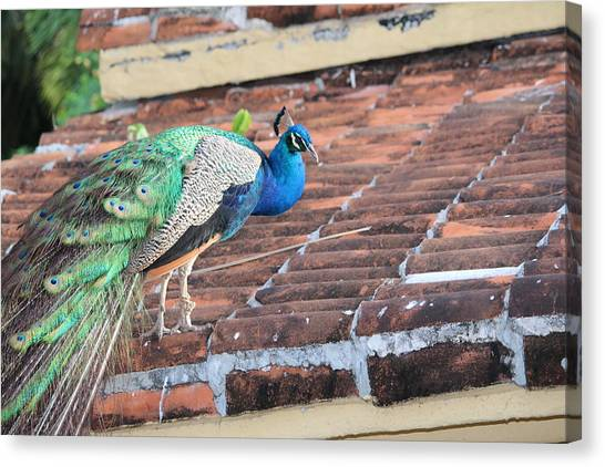 Peacock On Rooftop Canvas Print