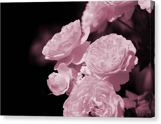 Peacock Pink Cabbage Roses On Black Canvas Print