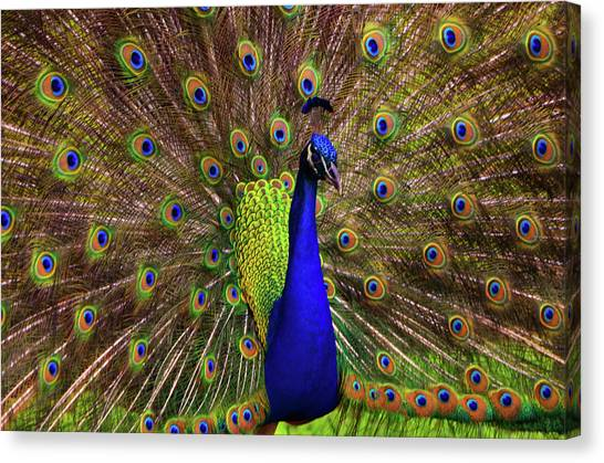 Peacock Showing Breeding Plumage In Jupiter, Florida Canvas Print