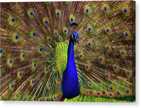 Peacock Showing Breeding Plumage In Jupiter, Florida Canvas Print