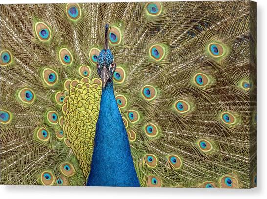 Peacock Splendor Canvas Print