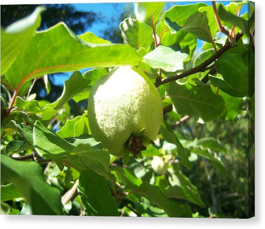 Pear Canvas Print by Ken Day