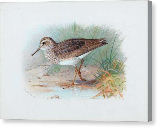 Sandpipers Canvas Print - Pectoral Sandpiper by Archibald Thorburn
