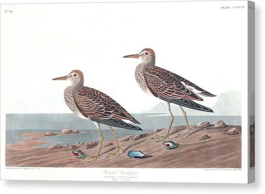 Sandpipers Canvas Print - Pectoral Sandpiper by John James Audubon