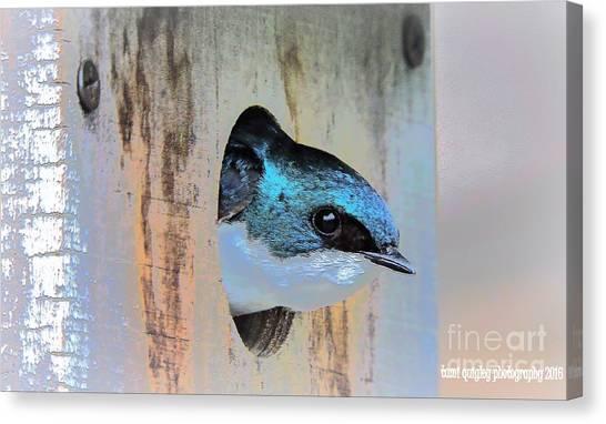Peek-a-blue Canvas Print