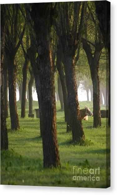 Peek A Cow Canvas Print