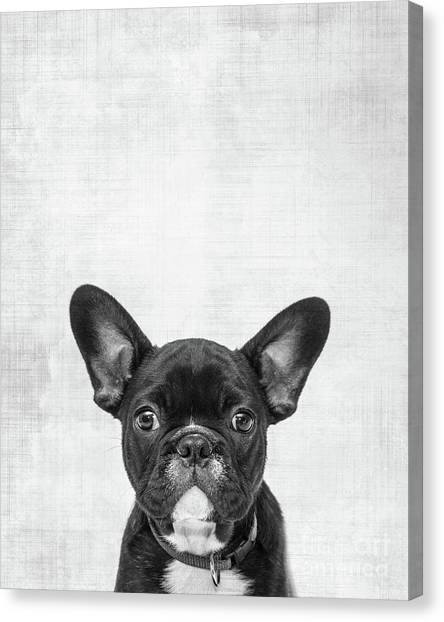 Boston Terrier Canvas Print - Peekaboo Boston Terrier by Delphimages Photo Creations