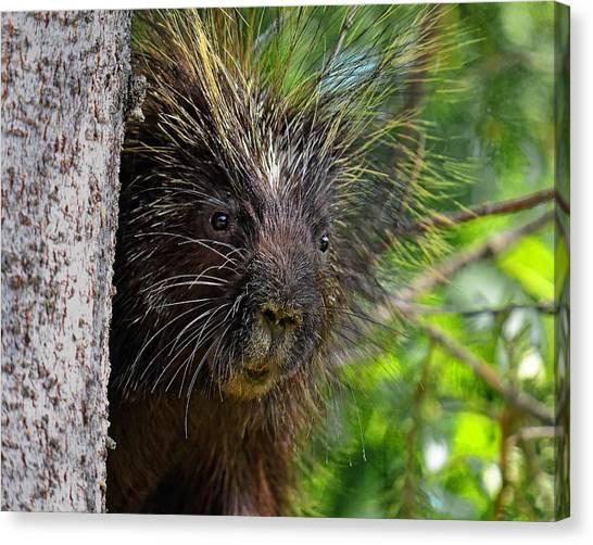 Peeking Porcupine Canvas Print