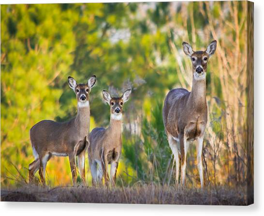 Twin Fawns Canvas Print - Peering At Me by Parker Cunningham