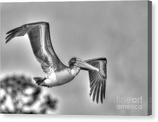 Pelican-4443 Bnw Canvas Print