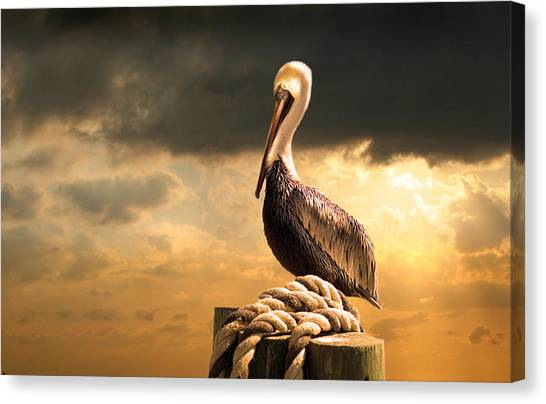 Pelicans Canvas Print - Pelican After A Storm by Mal Bray