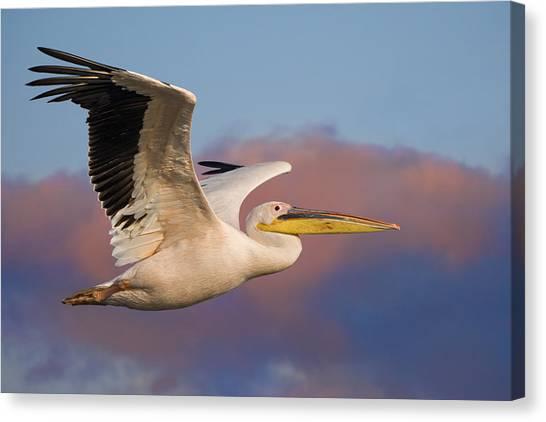 Pelican Canvas Print by Basie Van Zyl