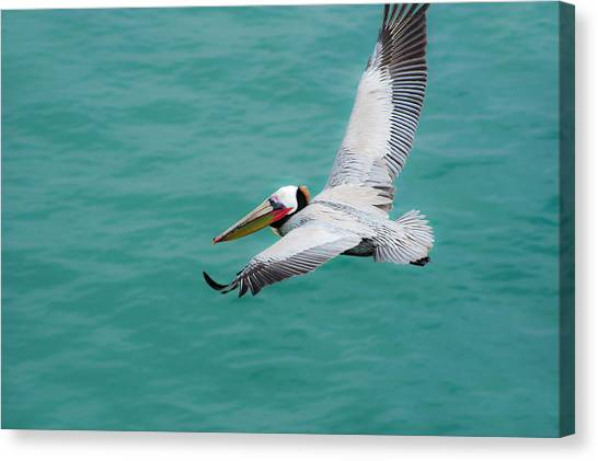 Pelican Beautiful Canvas Print