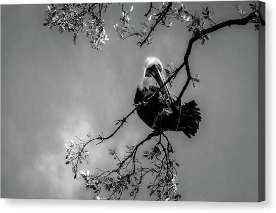 Pelican Connection Canvas Print