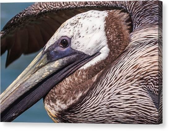 Pelican Detail Canvas Print
