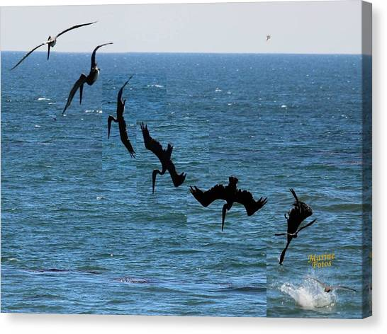 Pelican Dive 7 Photos In 2.5 Seconds Canvas Print