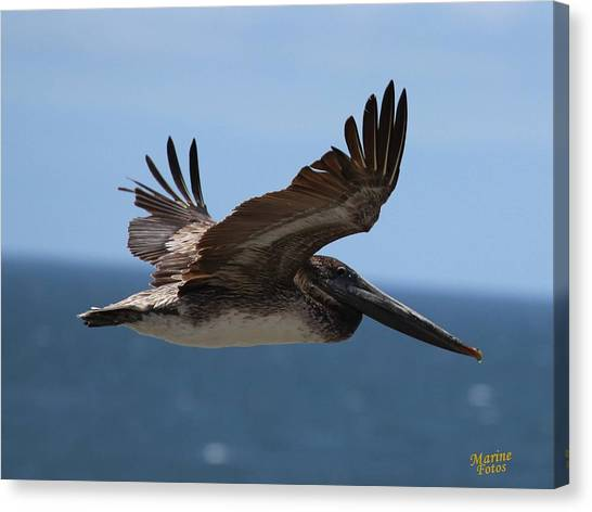 Pelican Flying Wings Up  Canvas Print