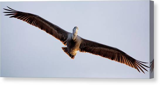 Pelican In Flight Canvas Print