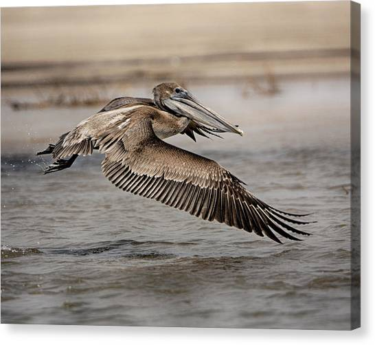 Pelican In The Air Canvas Print