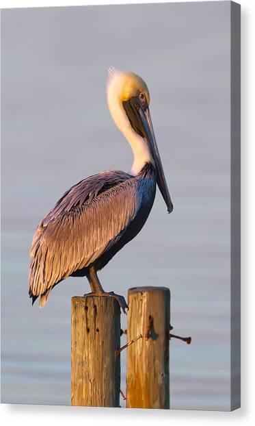Pelicans Canvas Print - Pelican Perch by Janet Fikar