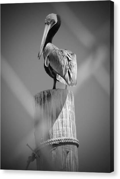 Pelican Perched Canvas Print by Megan Verzoni