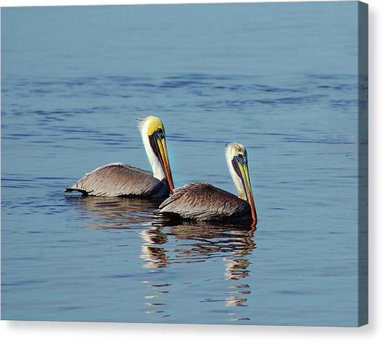 Pelicans 2 Together Canvas Print