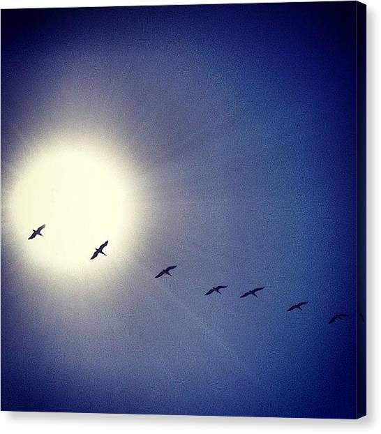 Flying Canvas Print - Pelicans by Kyle Krone