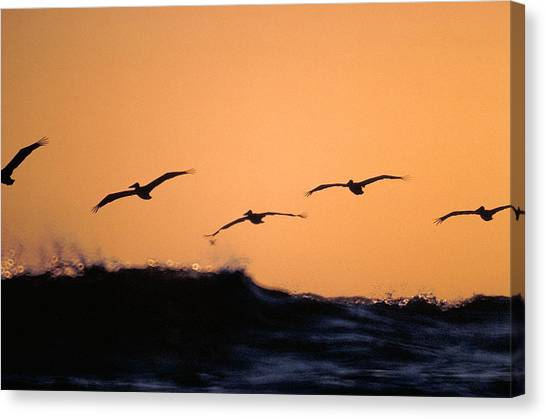 Pelicans Over The Pacific Canvas Print