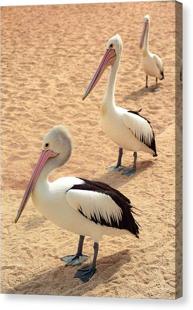 Canvas Print featuring the photograph Pelicans Seriously Chillin' by T Brian Jones