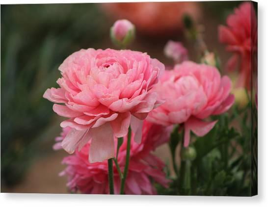 Peony Pink Ranunculus Closeup Canvas Print