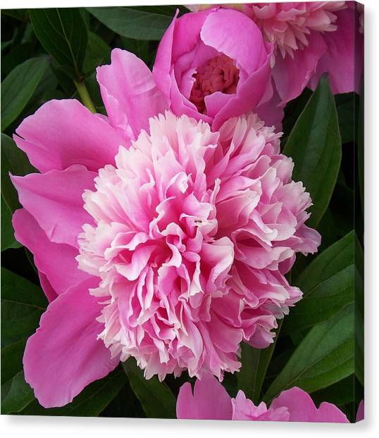Peony With Ant Canvas Print by Ellen B Pate