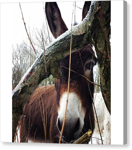 Donkeys Canvas Print - 🐴pepsi Donkey 🐴 Wasn't Wanted By by Fields Of Freedom