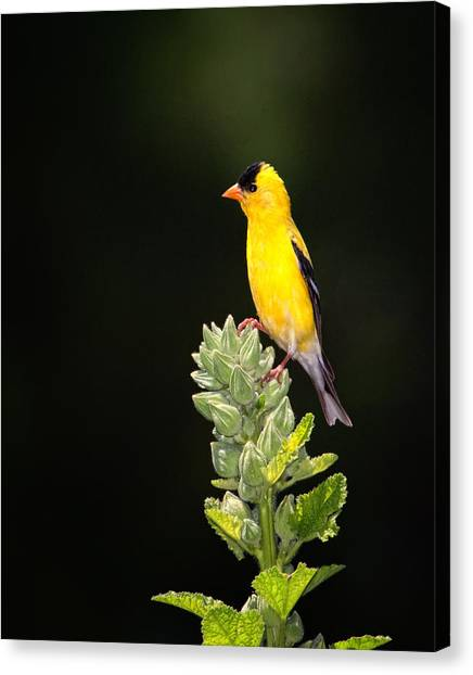 Perched American Goldfinch Canvas Print