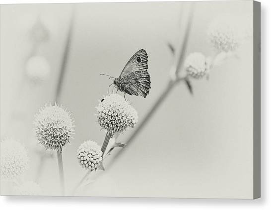 Perched Butterfly No. 255-2 Canvas Print