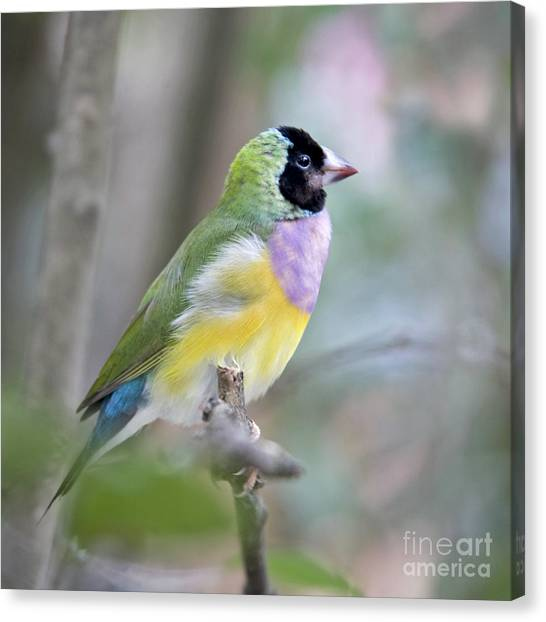 Finches Canvas Print - Perched Gouldian Finch by Glennis Siverson