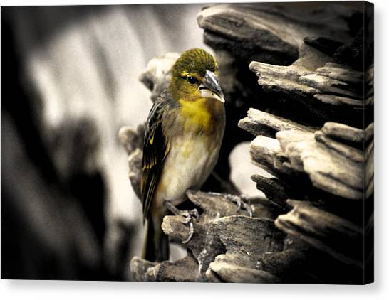 Canaries Canvas Print - Perched by Martin Newman