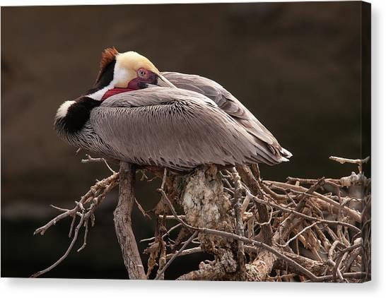 Perched Pelican Canvas Print