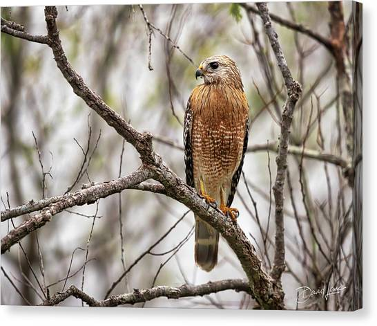 Canvas Print featuring the photograph Perched Red Shouldered Hawk by David A Lane